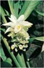 Photograph of tumeric plant with white flowers.