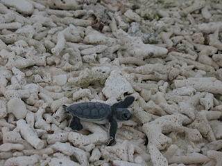 Newly hatched turtle heading towards the sea.