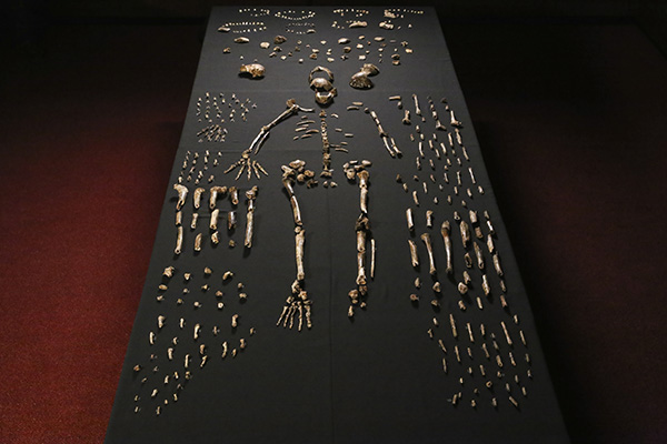 Unarticulated bones of Homo maledi laid out in order on a black table.