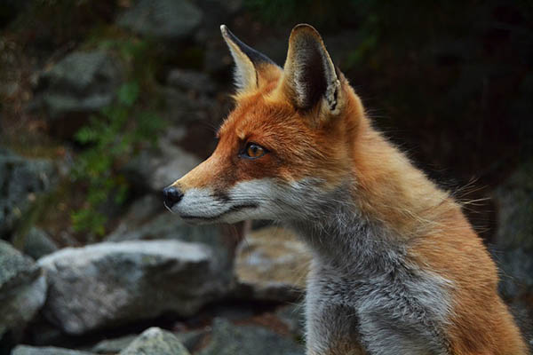 Red fox looking wise