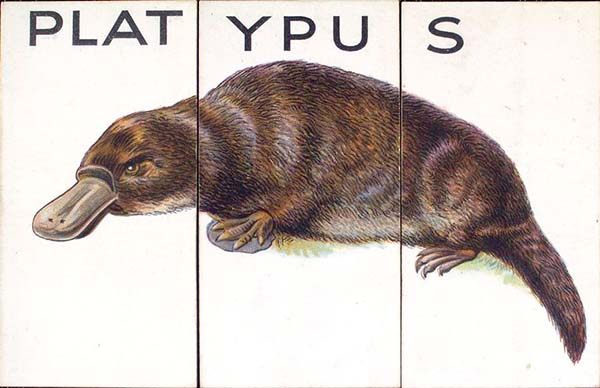 A historical illustration of a platypus.