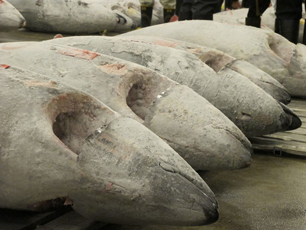 Row of large, dead bluefin tuna lined up on the ground, with the legs of fishermen and fish buyers visible in the background.