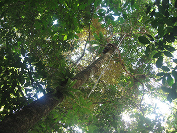 Looking up from below, a man in a tree uses a long pole to collect specimens. The image is dominated by the green of the canopy, with a little sky breaking through.