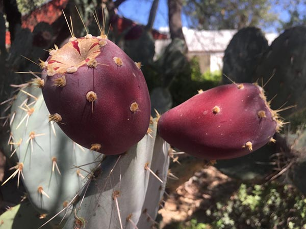 A close up photo of a red fruit growing on a cactus; the fruit is covered in spines.