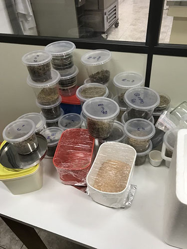 Roughly 15-20 sugarcane samples are shown in small round plastic containers sitting on a white table in a lab.