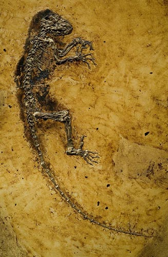 Photograph of a fossilized animal with four limbs and a long tail.