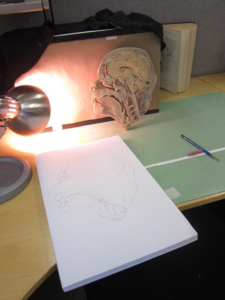 Photograph of a desk. On it is a plastinated section of a human head with a desk lamp pointed at it. A pad of drawing paper with a pencil drawing o it is in front of it. To the right is a pencil and eraser.