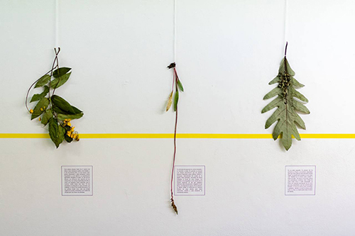 A picture of three plant samples distributed horizontally along a white wall
