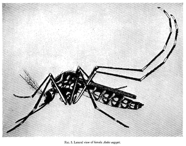 Textbook lateral view of a drawn mosquito in black and white.